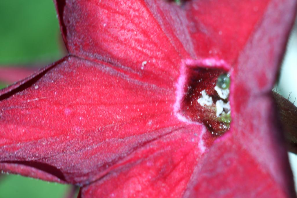 Aufnahme eine Blüte mit einem Projektorobjektiv und Balgen