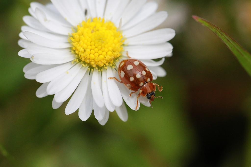 Marienkäfer sind ein beliebtes und vor allem geeignetes Motiv, um in die Insektenfotografie einzusteigen, mit Glück findet man dann auch mal ein selteneres Exemplar. Der Vorteil: Sie hauen nicht ab. Der Nachteil: Deshalb fotografiert sie jeder. 100 mm | f/8 | 1/250 Sek. | ISO 400 | EF 100 L IS UMS Makro