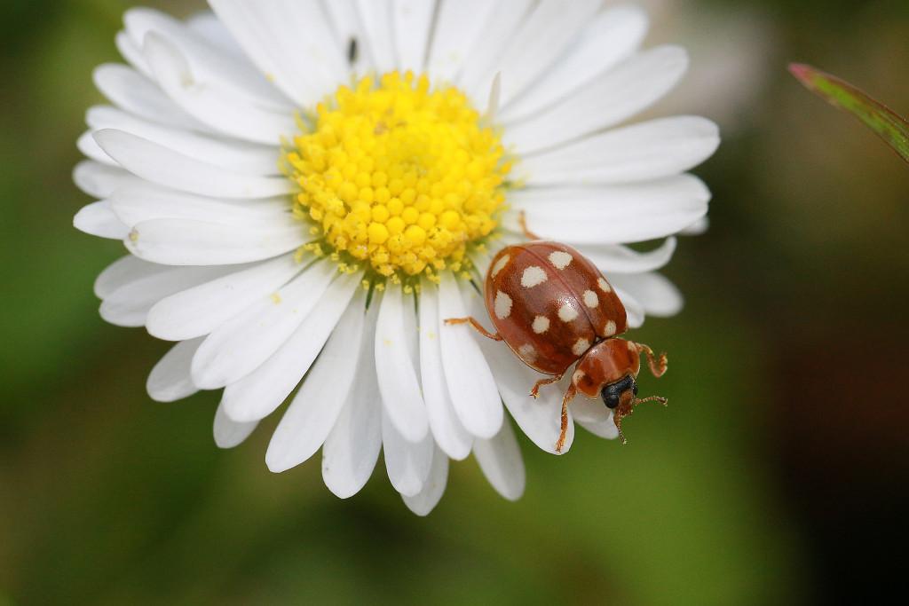 ... oder hier den Käfer mittig mit lleicht versetzter Blüte...