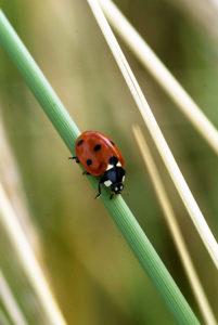 So mag vielleicht Euer erstes Foto eines Marienkäfers aussehen, zufällig erwischt und eigentlich viel zu klein auf dem Bild.