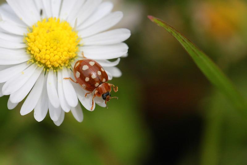 Ein gefärbter Marienkäfer auf einem Gänseblümchen in der Makroaufnahme