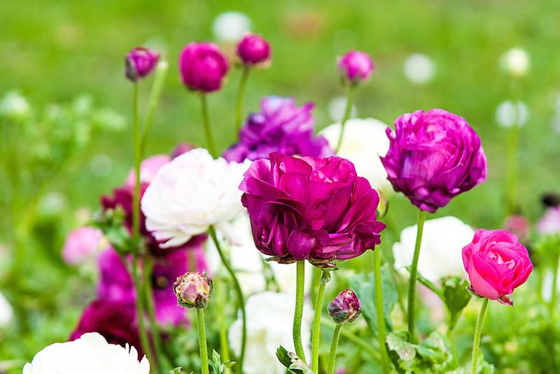 Weiße und lila Mohnblüten in der Makroaufnahme