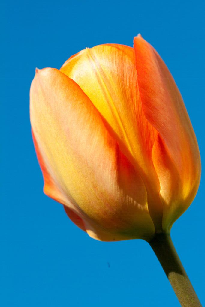 Makroaufnahme einer Tulpe, die sich zu öffnen beginnt.