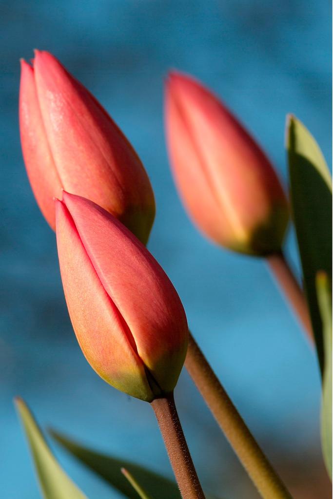 lachsfarbene Tulpen in der Makroaufnahme