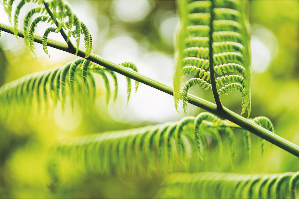 Baumfarn, Costa Rica Diesen: prächtigen Farn habe ich mit Offenblende im Nebelwaldreservat Monteverde fotografiert, von einer Hängebrücke aus, in den Wipfeln der Urwaldriesen. Nikon D810 und Zeiss-Makro-Planar 2/100 mm ZF (ISO 100, Blende 2,0, 1/200 s). Fotograf: Maximilian Weinzierl.