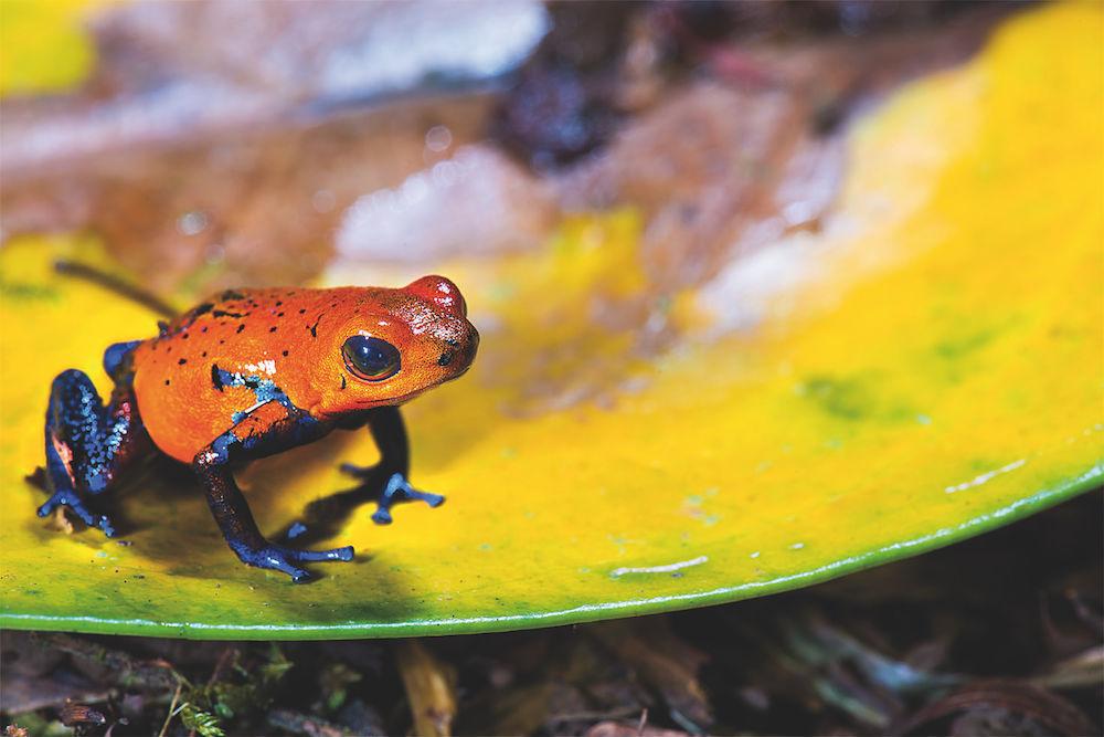 Frosch Rot
