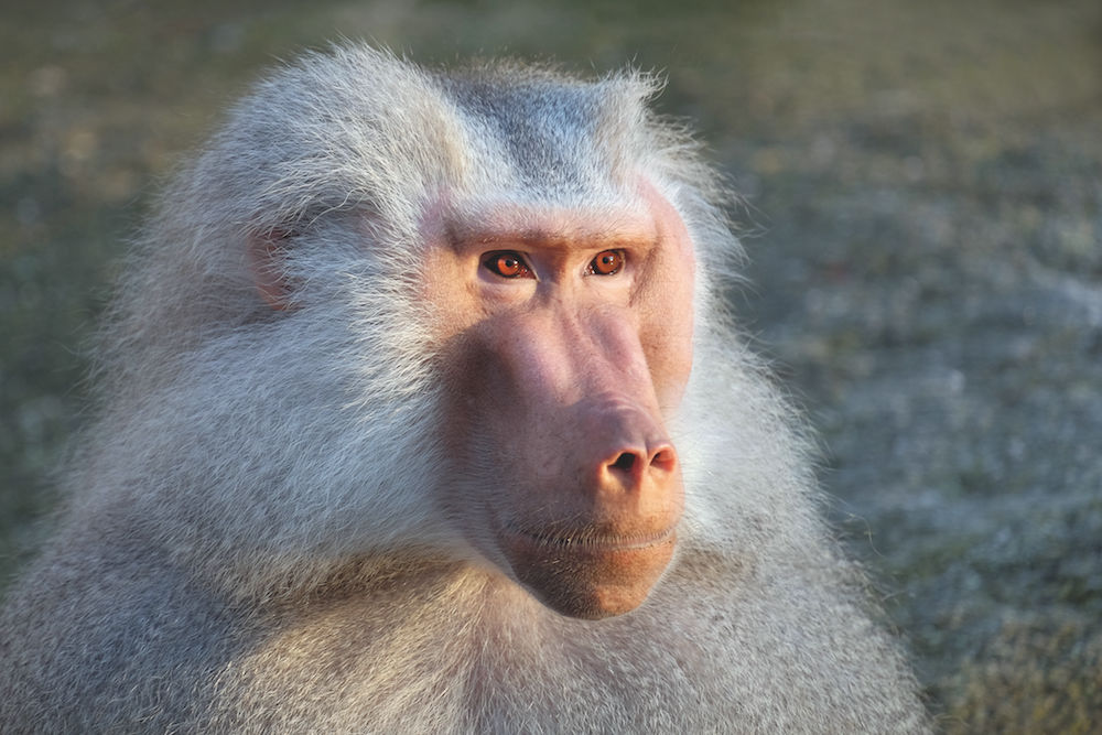 Tierfotografie: Affe im Zoo