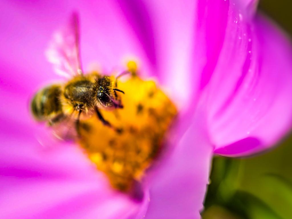 """Makrofotografie: Biene in einer Blüte mit leichter """"Touch-Up""""-Bearbeitung"""
