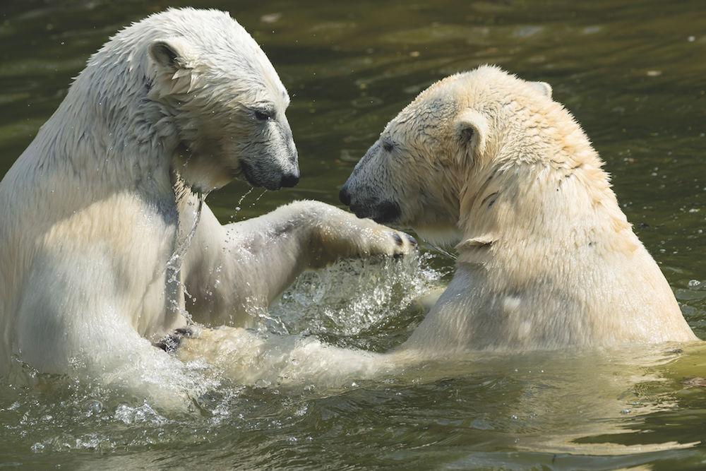 Tierfotografie: Bären im Zoo