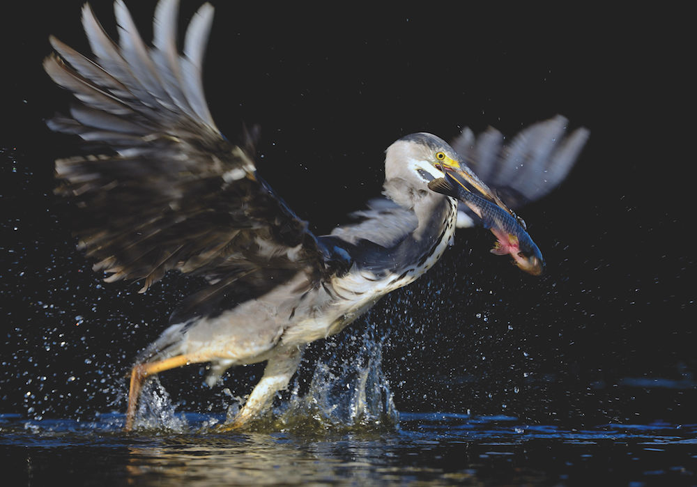 Tierfotografie: Fischreiher