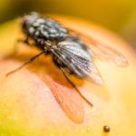 Fliege-beim-Verzehr-3