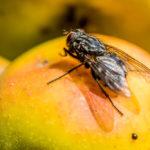 Fliege-beim-Verzehr-5