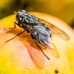Fliege-beim-Verzehr-7
