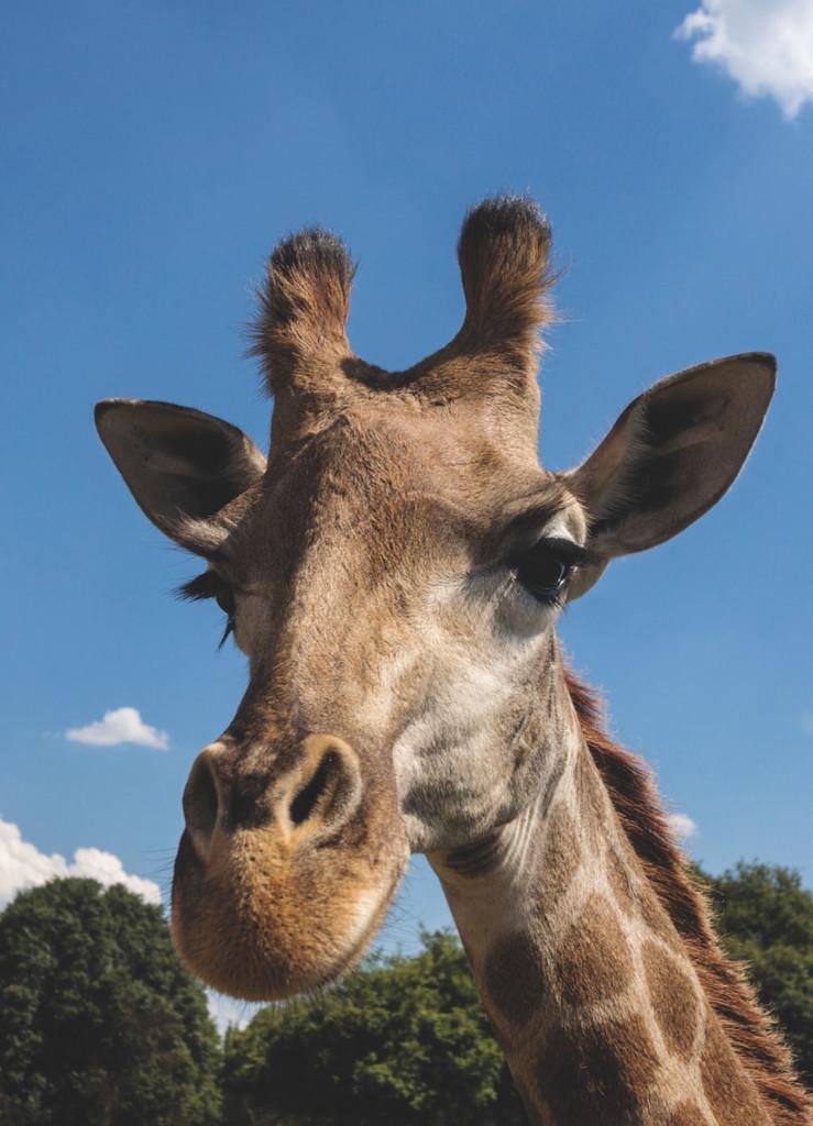 Tierfotografie: Giraffe
