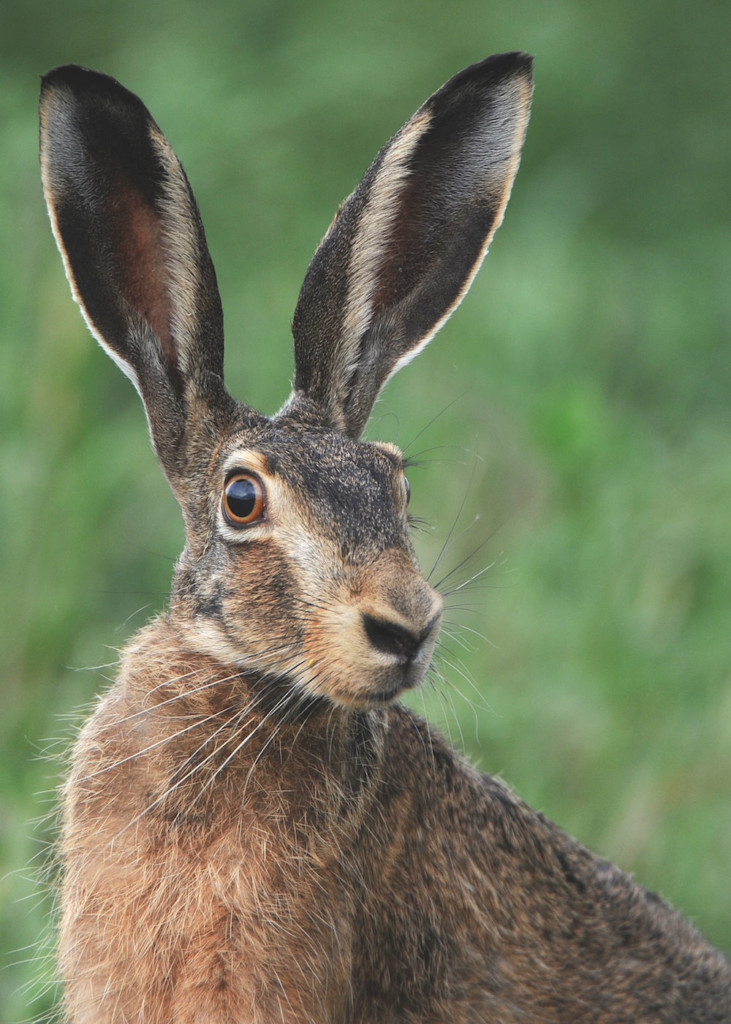 Tierfotografie: optimal fokussiert - Hase