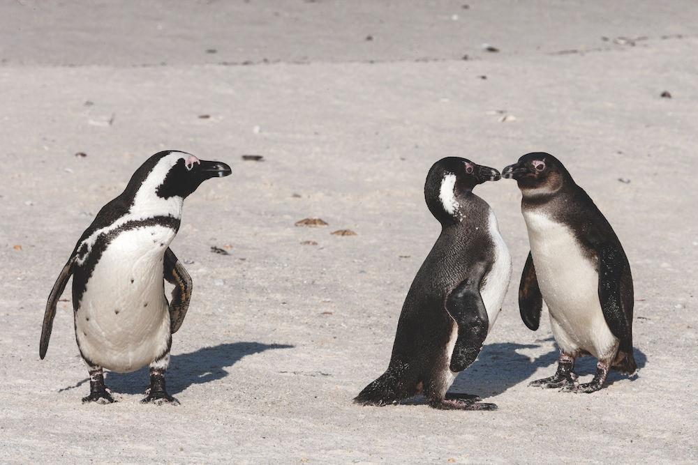 Tierfotografie: Pinguin