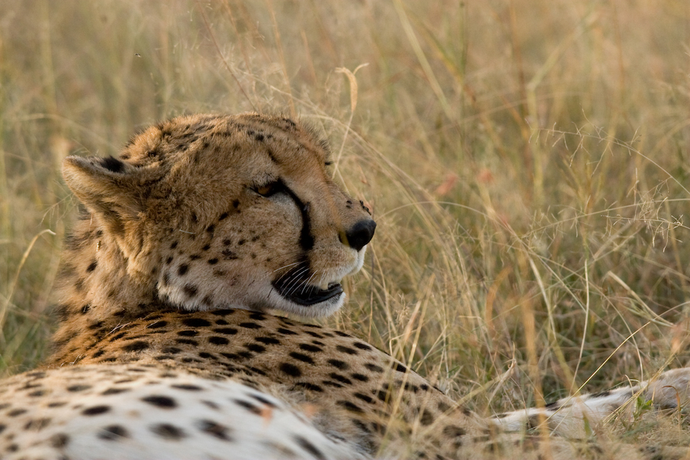 safari-leopard-nah