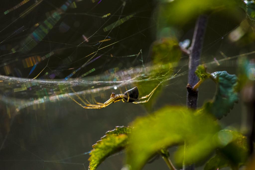 Makrofotografie: Spinne in natürlicher Umgebung in ihrem Netz