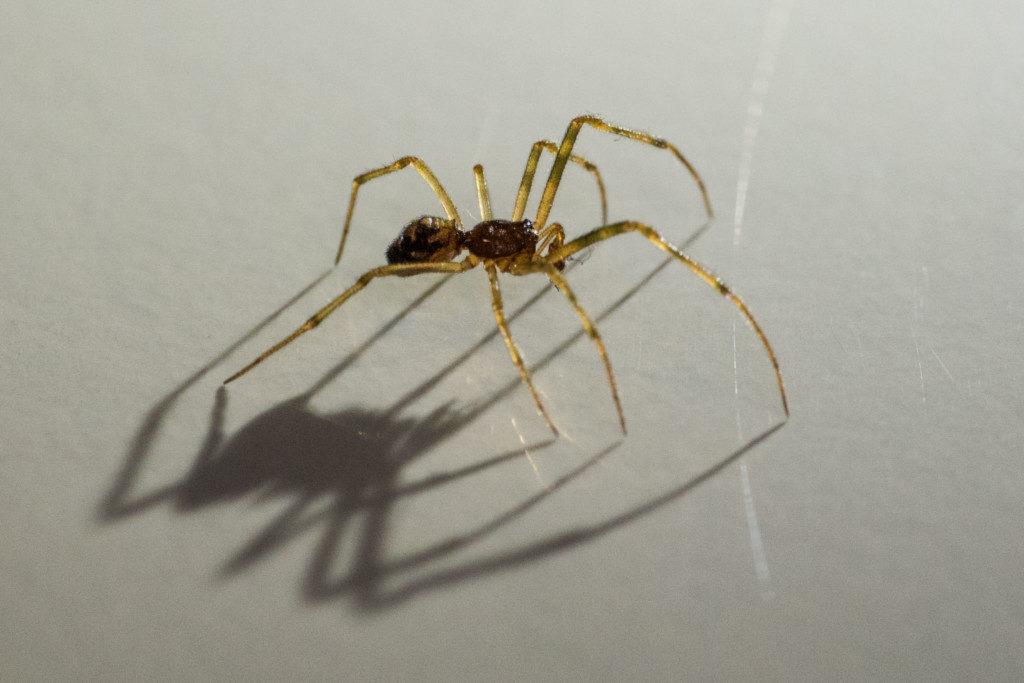 Makrofotografie: Spinne-mit-Schatten