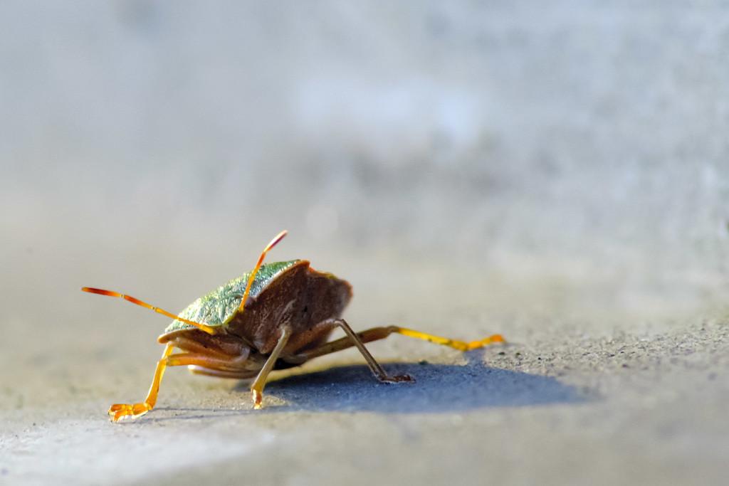 Makrofotografie: Eine Wanze krabbelt auf einer grauen Oberfläche