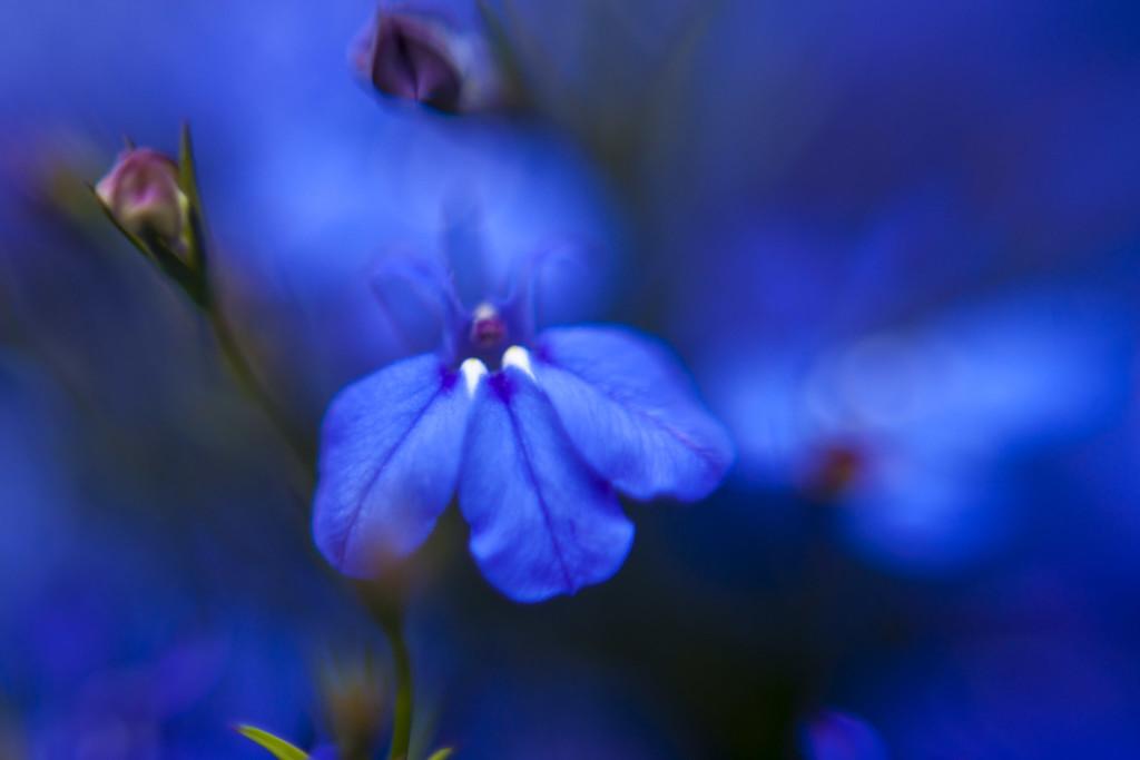 Nahaufnahme einer Blüte des Männertreus