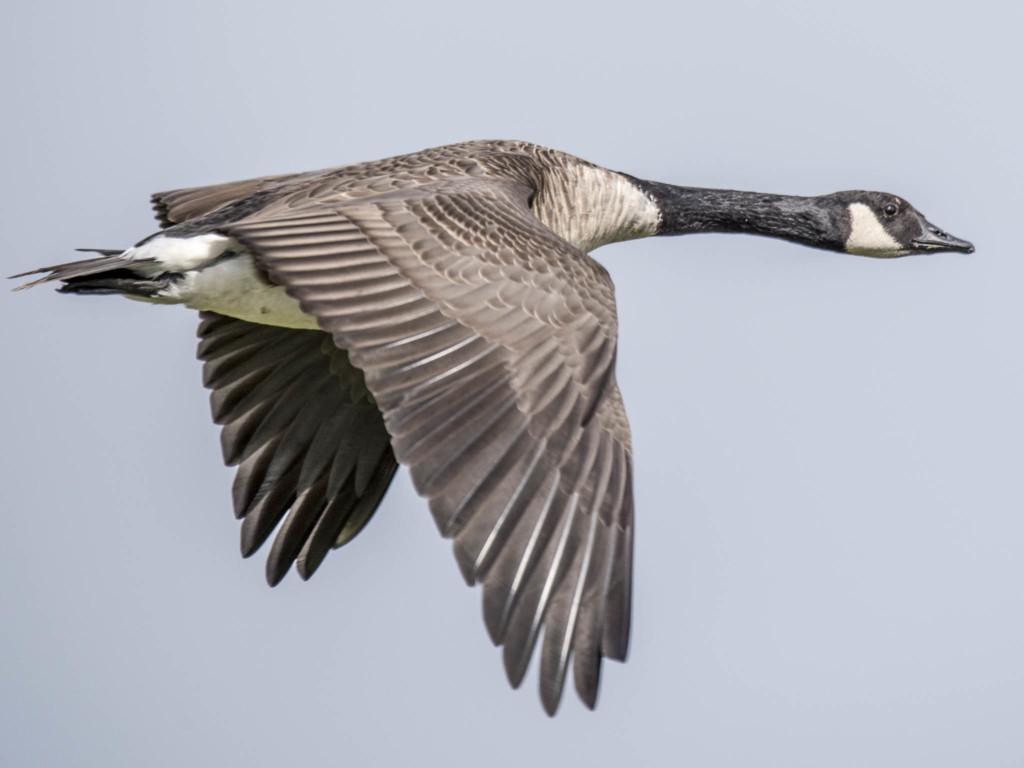 """Tiere, wie hier diese Gans, benötigen keine zusätzlichen visuellen Tiefeninformationen. Wir wissen einfach, dass die Flügel paarweise angebracht sind, der Kopf und der Hals mittig zum Gesamtkörper sitzt und der Schwanz am Ende beweglich ist. Die Form eines Vogels ist also in unseren Gedächtnis abgespeichert und unser Wissen ergänzt die fehlende Tiefe im Bild durch unsere eigenen Erkenntnisse. Obwohl das Foto mit 600mm aufgenommen wurde, erscheint es uns als nicht """"unnormal""""."""
