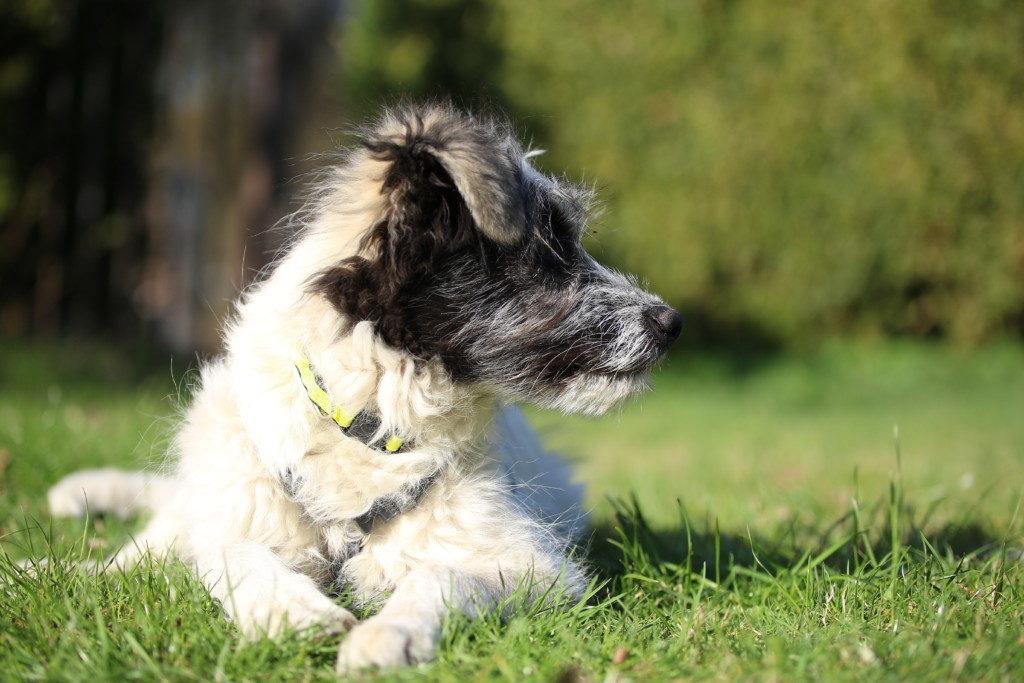 Hund-auf-Wiese