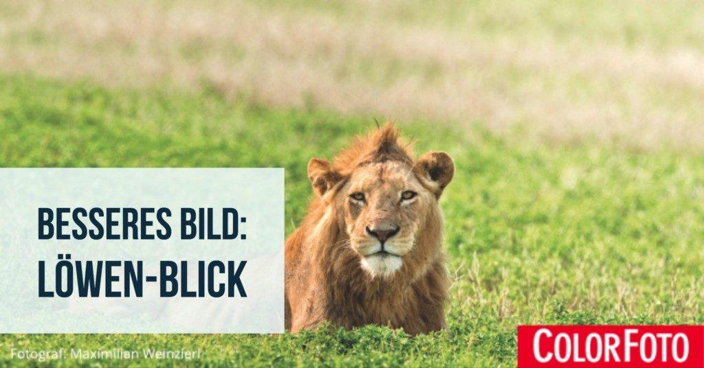 Besseres Bild: Löwen-Blick