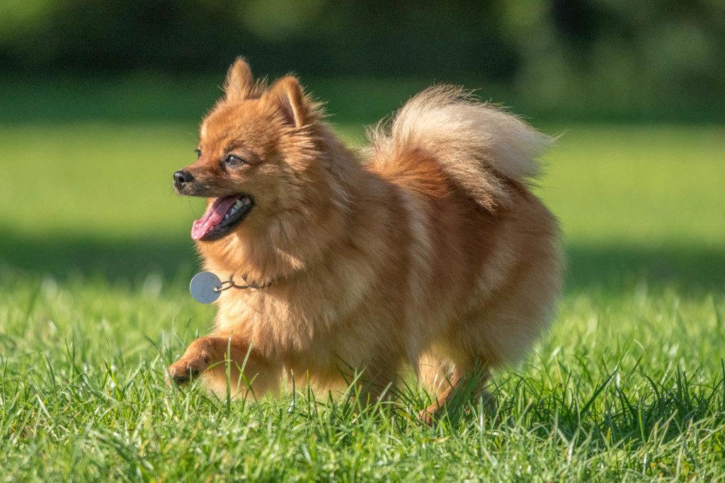 Nikon D810 | SIGMA 100-400mm f/5.0-6.3 | 1/4.000 | f/6.7 | ISO 1.800 | Grob geschätzt konnte ich diese Schönheit aus zirka 25 Meter mit 400mm vollformatig ablichten. Leider hab ich den Namen des Hundes nicht mitbekommen, der Hund möge mir verzeihen.