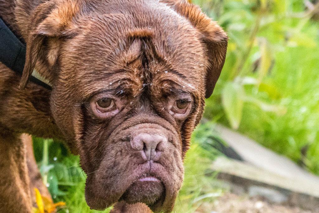 Hier ist der verknautschte Gesichtsausdruck wichtiger als der komplette Hund.