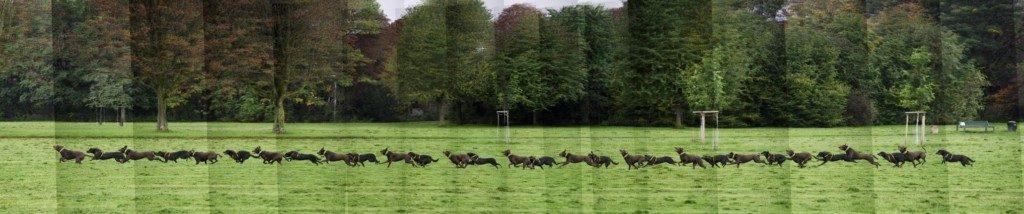 Die Jagd von zwei herumtollenden Hunden als Bildserie übereinandergelegt. Die sich noch abgrenzenden Einzelfotos lassen sich in einem späteren Bearbeitungsschritt noch harmonisieren.