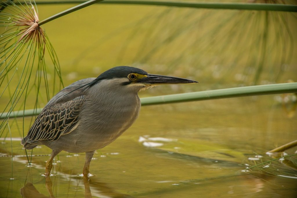The-Striated-Heron