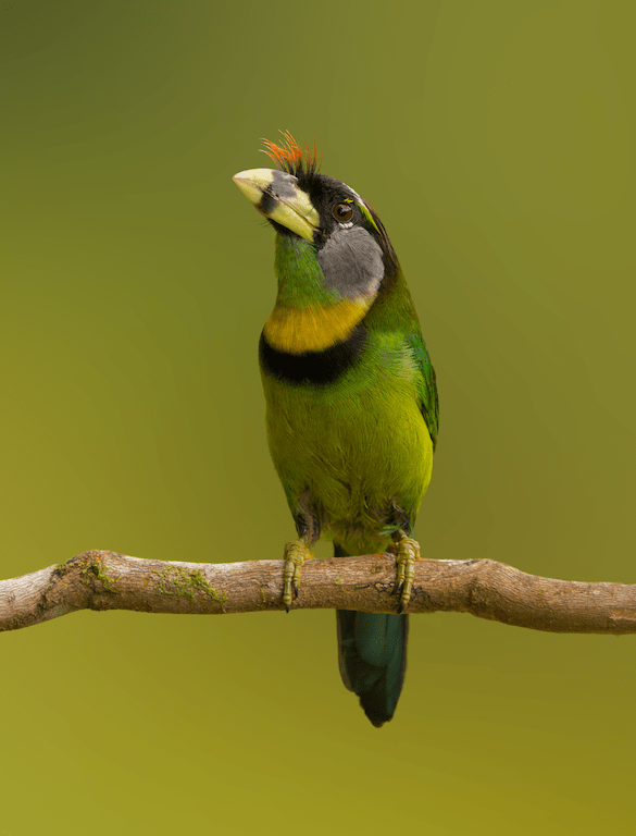 The-fire-tufted-barbet