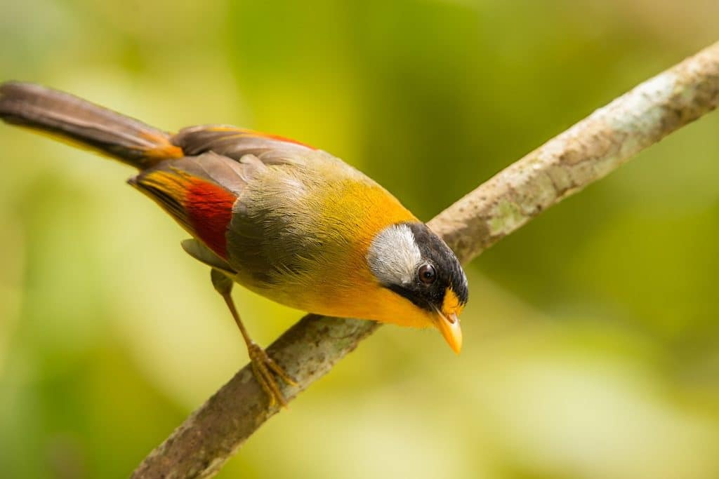 The-silver-eared-mesia-1024x683