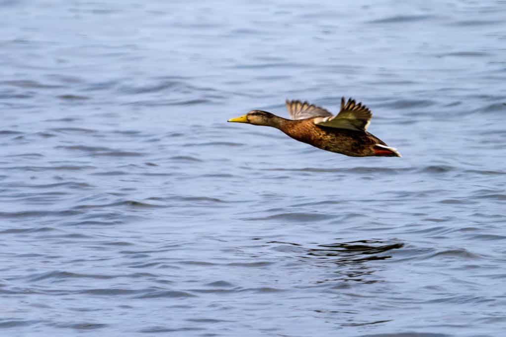 Start- bzw. Anflugphase von Wasservögeln