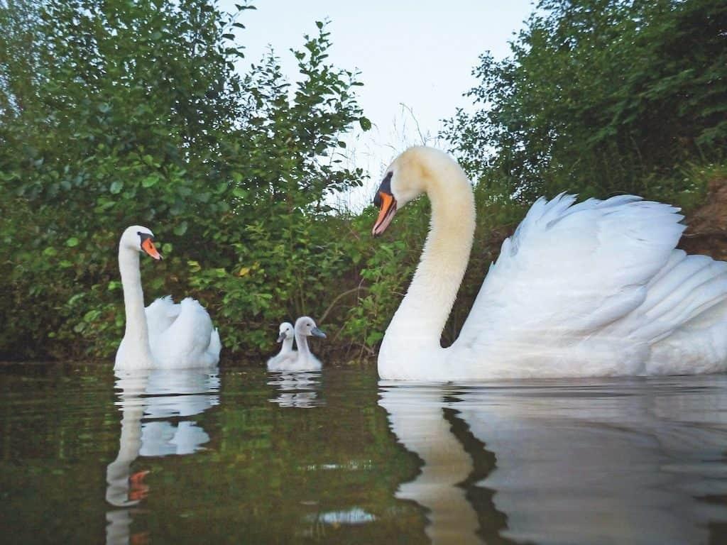 Mit der Schwanenfamilie auf Wasserlinie