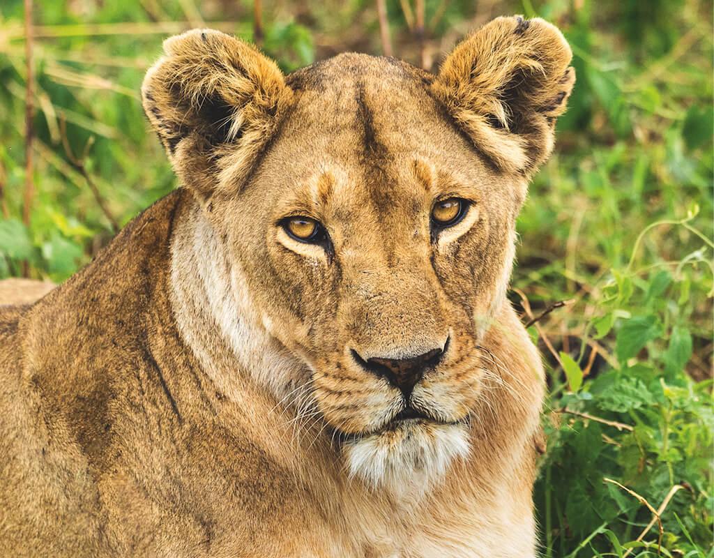 Tierporträt im Detail: Löwe