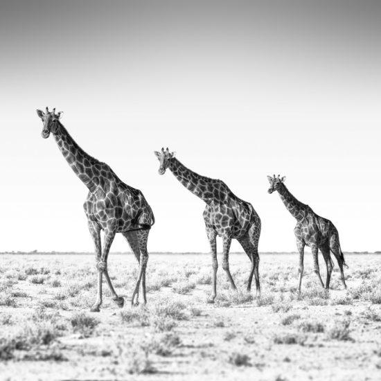 Giraffen im Etosha-Nationalpark Namibia