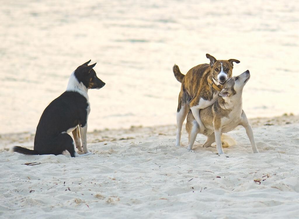 Zuschauer beim Paarungsvorgang von Hunden