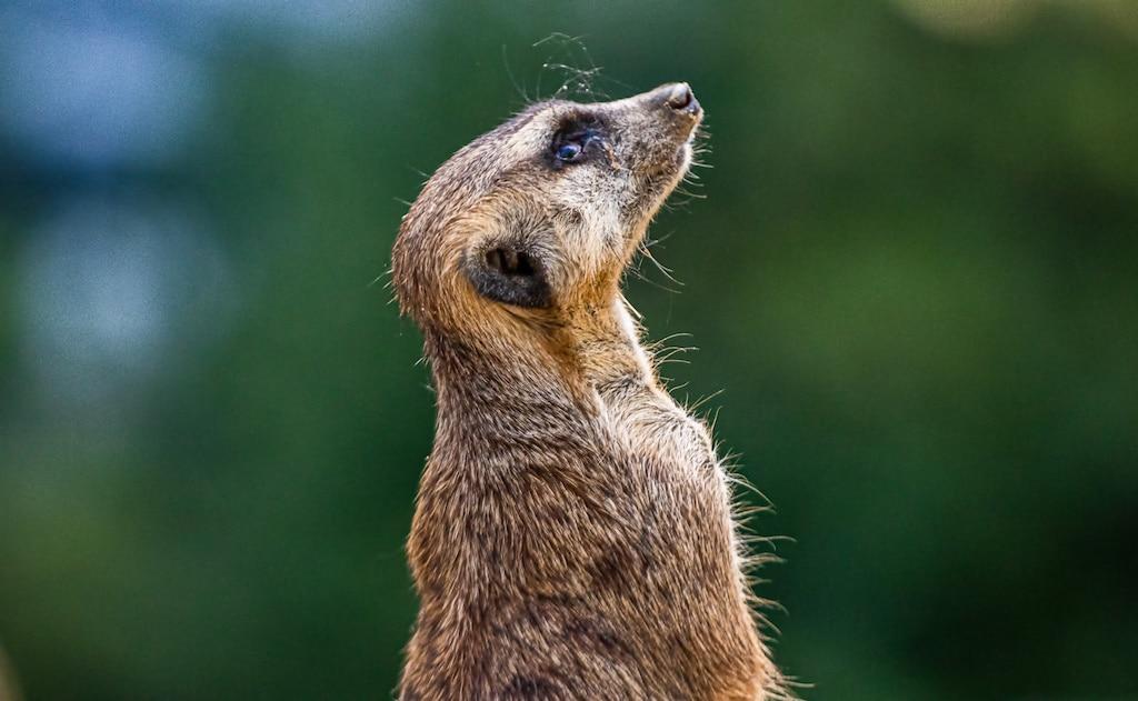 Sehenswürdigkeiten in Berlin: Erdmännchen im Berliner Zoo