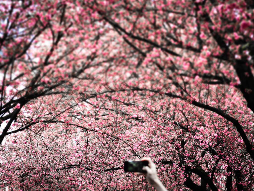 Die Kirschblüte in der Bonner Altstadt fotografieren