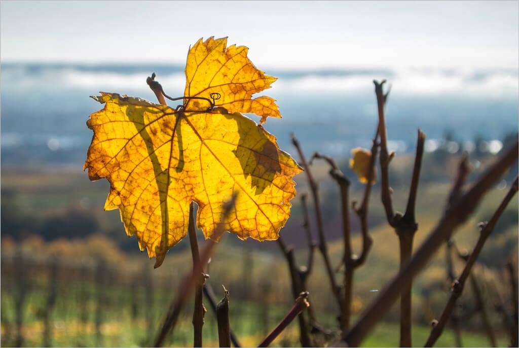 Weinberge in der Weinregion Rheingau fotografieren