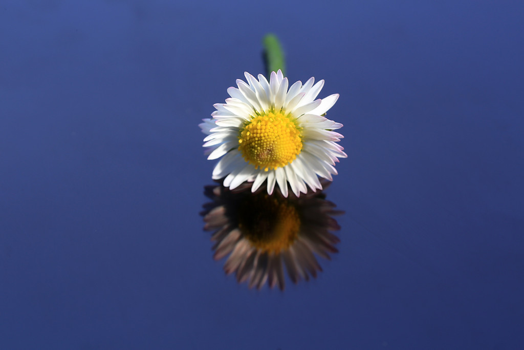 Blume auf spiegelnder Oberfläche