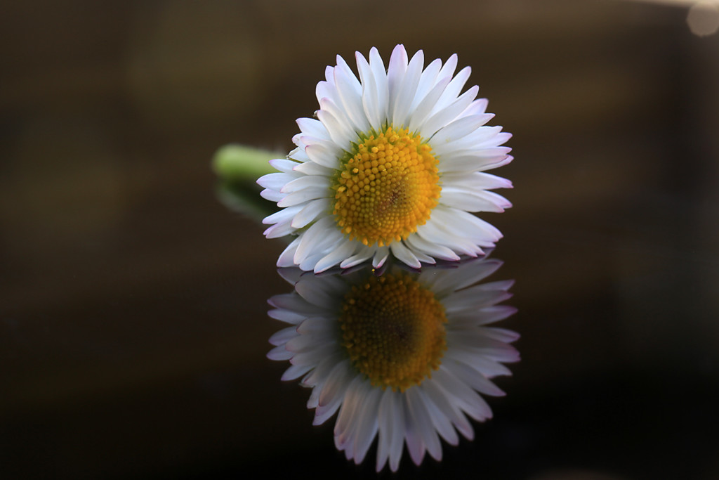 Gänseblümchen auf spiegelnder Oberfläche