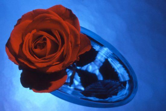Weihnachtsbild Rose