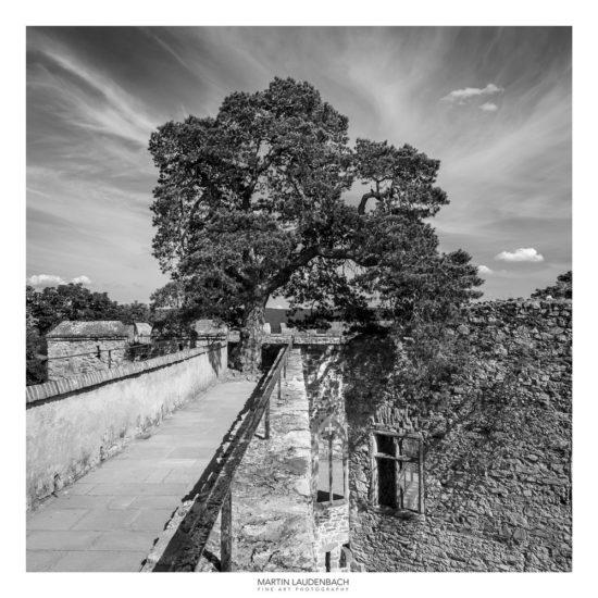 Kiefer direkt auf der Burgmauer des Schlosses Auerbach